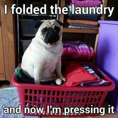 """I always look forward to laundry day.""  Barking mad @ www.jointhepugs.com  #PugPower #PugLife #PugsofInstagram"