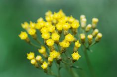What is helichrysum essential oil? What are the benefits of using it? Get the scoop on this oil, used externally in aromatherapy.