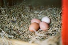 Backyard Chickens in Louisiana | west elm