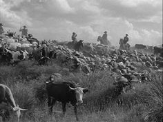 Western Trail Howard Hawks, Cattle Drive, Red River, Rind, Cowboys, Westerns, Trail, My Favorite Things, Animals