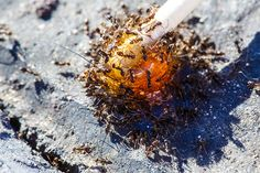 NYC's Ants Are Tiny but Wildly Efficient Street Cleaning Crews - BY NICK STOCKTON - Alex Turton/Getty Images