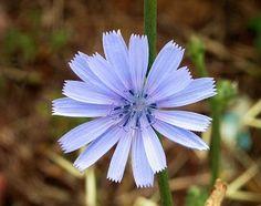 Floral de Bach Chicory - a essência floral para pessoas apegadas e possessivas.