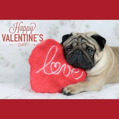"Happy #ValentinesDay from @vikingmops!  ... ""Don't forget!  Tomorrow is Valentine's Day May this #Valentine bless us with the Cupid of #love and the warmth of #romance ^_^"" ... #pug #pugpower #dogs #pugsnotdrugs #pugpuppy #puglove #cuteness #pugs #puglover #pugnation #dogstagram #dogsofinstagram #puppyeyes #pugstagram #pugworld #pugplanet #dogsofinstaworld #petstagram #instadog #instapug #babypug #pugsofig #pugsforever #pugoftheday #dogsofig #cutepug"