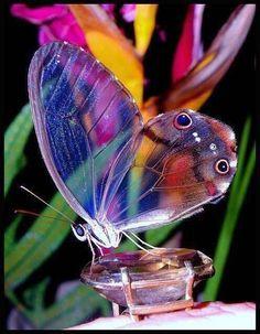 Esta es la bella mariposa de cristal. la naturaleza es increíble.