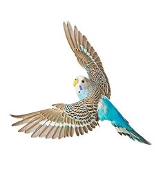Brown and Blue Budgie