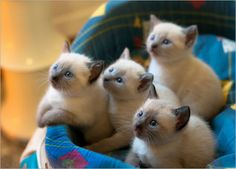 Siamese Kittens When I was a little girl, I wanted so badly to own a Siamese Cat. Unfortunately, I'm allergic. I had to stick with Beanie Babies. Siamese Kittens, Cute Kittens, Little Kittens, Cats And Kittens, Ragdoll Cats, Tonkinese Kittens, Bengal Cats, Sphynx Cat, Pretty Cats
