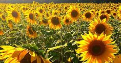 Ahhhh, sunflowers. There is something about sunflowers that just makes you smile, right? Maybe it is their bright, happy yellow-orange faces preening in the sunshine. Maybe it's the fat bumble bees getting drunk on the nectar. Perhaps it is because sunflowers represent the transition from the sunny, lazy days of summer to the crisp, mellow harvest time of the year. Regardless, sunflowers are just so happy. Of course, it is always helpful to know where and when to see sunflowers at peak…