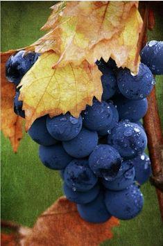 the fruit of life. Fruit And Veg, Fruits And Vegetables, Fresh Fruit, Fresh Figs, Fruits Photos, Wine Vineyards, Vides, Beautiful Fruits, Delicious Fruit