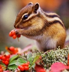 Chipmunk - I swear these are the cutest little things!!! <3