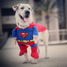 Beckham, un perro con traje de #Superman pasea durante la Comic Con en San Diego, California. La Convención Internacional es el mayor evento de cómic y de entretenimiento del mundo. Foto: AFP