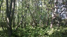 Alder forest Plants, Photos, Pictures, Plant, Planets