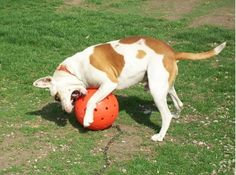 What's large, orange and won't break from your dog's bite? Unbreakoball – The Invincible Dog Toy! This safe dog ball is virtually indestructible, and it is large enough to render ingestion impossible.The Unbreakoball dog ball is crafted in the United States from a nontoxic, high-density polyethylene plastic. Designed for the roughest, toughest players, the Unbreakoball will stand up to your dog's clamping jaws, snapping teeth and pawing claws. You may be pondering that if the ball is so…