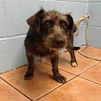 Downey, CA - Terrier (Unknown Type, Medium). Meet GILBERT a Dog for Adoption.