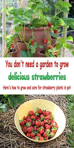 Strawberries in containers – Growing strawberries in containers – Strawberry plants – Growing st - Gardening Types Of Strawberries, Growing Strawberries In Containers, Growing Vegetables In Containers, Container Gardening Vegetables, Succulent Containers, Container Flowers, Container Plants, Container Design, Gemüseanbau In Kübeln