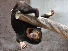 Look ma no hands Happy Animals, Funny Animals, Cute Animals, Bear Pictures, Funny Animal Pictures, Malayan Sun Bear, Panda, Warm Fuzzies, Animal 2