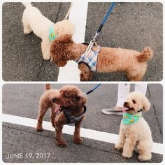ෆ̈ 真夏日☀️💦 ・ バー君と合流💕💕 ・ ・ #お散歩 #福 #愛犬 #犬 #プードル #トイプードル #タイニープードル #dog #poodle #toypoodle #大切な家族 #最愛の息子 #愛おしい #大好き #幸せ #目に入れても痛くない #ワンコなしでは生きていけません会 #ふわもこ部 #ママミング #適当