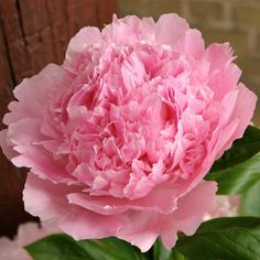 Buy Peonies, Peonies And Hydrangeas, Peonies Garden, Pink Peonies, Peonies Bouquet, Exotic Flowers, Cut Flowers, Pink Flowers, Beautiful Flowers