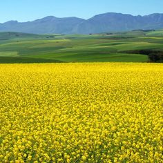 The Canola Fields around Cape Town are in bloom. The fields are alive with exquisite yellow colours ! Photo Thanks to Cape Town Tourism. Pretoria, Cape Town Tourism, Canola Field, Cape Town South Africa, Kwazulu Natal, Am Meer, Africa Travel, Countries Of The World, Strand