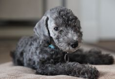 Find Bedlington Terrier Puppies and Breeders in your area and helpful Bedlington Terrier information. All Bedlington Terrier found here are from AKC-Registered parents. Pitbull Terrier, Perros Bull Terrier, Terrier Puppies, Terriers, Bedlington Whippet, Lurcher, Rare Dogs, Rare Dog Breeds, Whippet Puppies