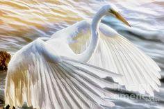 Fancy Wing Dancer by Ola (Great Egret's image taken at Lion's Bridge in Newport News, Virginia)