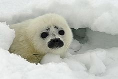 Please save me from being clubbed to death for my fur and to reduce the numbers of my brothers and sisters.    www.harpseal.org   PLEASE SAVE ME!