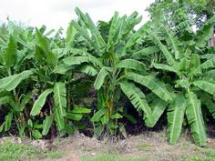 G9 banana plants suppliers  We sell good quality G9 tissue culture banana plants produced in my lab.  For more details: http://www.agribazaar.co/index.php?page=item&id=2083  When you call, don't forget to mention that you found this ad on www.agribazaar.co