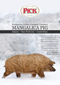 1000  images about Mangalica fan club on Pinterest