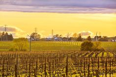 THE BEST WAY TO CHEER YOURSELF UP IS TO TRY TO CHEER SOMEBODY ELSE UP. MARK TWAIN For a man who disdained traditional values he certainly got this one right! Good morning from Wine Country....my hope is that this pic cheers a few of you up!#awesome_earthpix #bpa_rural #bayareabuzz #barnstalkers #borninfornia #bestnatureshot #carneros #chardonnay #caliexplored #california4fun #country_features #destinationearth #ebs_fullframe #explorehisearth #fpog #fotofanatics #heart_imprint #igmasters…