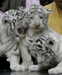 Preciosos tigres blancos