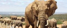 See Different Vistas in West Africa – Ivory Coast: African wildlife, elephants, in Ivory Coast