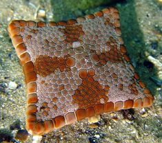A square biscuit starfish found off of Australia