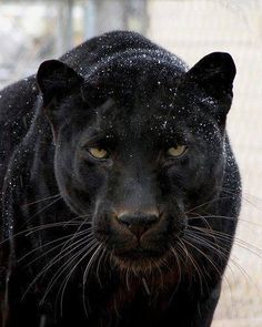 The third largest but strongest of all the Big Cats: The Black Panther, which incidentally could be a leopard or a jaguar! Animals And Pets, Baby Animals, Cute Animals, Beautiful Cats, Animals Beautiful, Stunningly Beautiful, Absolutely Gorgeous, Big Cats, Cats And Kittens