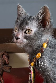 Rise of the Werewolf Cats: a New Breed Is Born : The Featured Creature