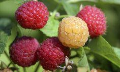 Consejos para cultivar frambuesas Fruit Plants, Fruit Trees, Edible Garden, My Flower, Compost, Vegetable Garden, Beautiful Gardens, Gardening Tips, Garden Landscaping