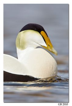 COMMON EIDER -  . . . Somateria mollissima . . . northern coasts of Europe, North America, E Siberia. It breeds in Arctic and some northern temperate regions, but winters somewhat farther south in temperate zones, when it can form large flocks on coastal waters  . . . Photo: Glenn Bartley
