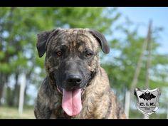 Trick Dog Class 21 - Ladder - Žebřík - Novice Trick Dog Training with Cimarron Uruguayo dogs from Cerberus Illusion kennel