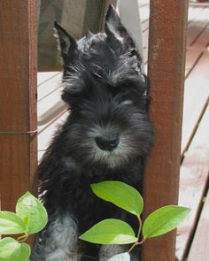 Miniature Schnauzer Dog Breed Information - American Kennel Club Miniature Schnauzer Rescue, Miniature Schnauzer Puppies, Schnauzer Puppy, Baby Puppies, Dogs And Puppies, Doggies, Akc Breeds, Dog Life, Dog Pictures
