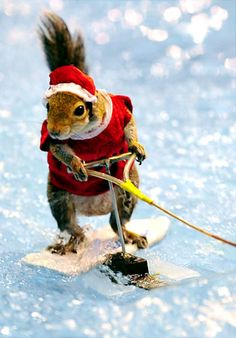 Yes, a squirrel can waterski, just like us! Twiggy The Amazing Waterskiing Squirrel is performing all week at the annual New York Boat Show at the Jacob Javitts Center. Twiggy got into the holiday spirit in a red and white ensemble ...
