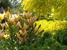 This soothing monochromatic scheme relies on varying foliage textures and forms for interest. A canopy of golden locust tree (Robinia pseudoacacia 'Frisia') leaves rustles in the breeze, towering over dwarf Japanese cedar (Cryptomeria japonica 'Elegans Nana'), while a strong vertical accent provided by fragrant lilies (Lillium 'African Queen') fills in the middle plane.