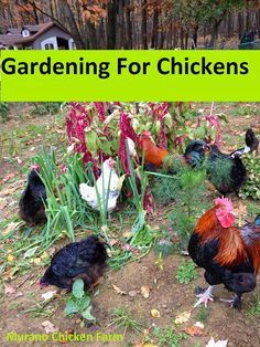 Gardening for chickens....what to plant to feed your flock