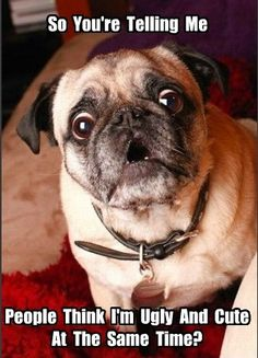 Pugs have a variety of facial expressions. For that reason, pug memes are funny and I hope these 101 dog memes featuring pugs bring a smile to your day! Funny Animal Memes, Dog Memes, Funny Dogs, Funny Animals, Cute Animals, Funny Memes, Silly Dogs, Animals Dog, It's Funny