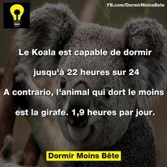 Le Koala est capable de dormir jusqu'à 22h sur 24. A contrario, l'animal qui dort le moins est la girafe. 1,9 heure par jour.