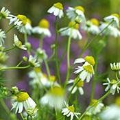 German Chamomile Herb 200 Seeds - GARDEN FRESH PACK! by Hirts: Seed; Herb. $3.27. Matricaria recutita. To make tea, pick when buds are about to open, or flowers are at their peak of bloom. Days to Maturity: 70-80. 18-30 in. Tender Perennial/Hardy Perennial. 200 Seeds. HERBS: Treat yourself to fresh herbs right from your garden! The difference when home grown is impressive! All are excellent for adding distinctive flavor to meat, and fish dishes, gravies, soups, salads and veg...
