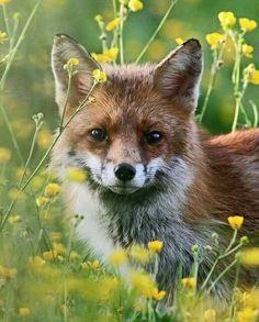Red Fox by Dan Belton