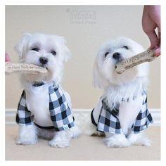 We're so lucky we get to model with food! ・・・ T-shirt info: http://unitedpups.com/classic ・・・ #tshirt #tee #cute #gingham #maltese#frenchie #shihtzu #poodle#pomeranian#chihuahua #beagle #yorkie#pug#dachshund #jackrussell #corgi#puppy#dog #pet #puppylove#stylishdog#unitedpups #cool #weeklyfluff#blackandwhite #unitedpups #cookie #treat