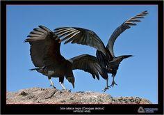 Jote Cabeza Negra ( Coragyps atratus )
