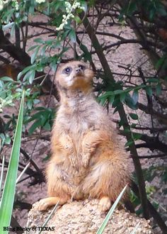 Could curiosity kill the meerkat? He is so cute! Dallas ZOO .. Memorial Day 2013