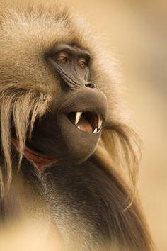 Ethiopian mountain king, by Joe McDonald (USA)/Veolia Environnement Wildlife Photographer of the Year 2009. Not for REUSE