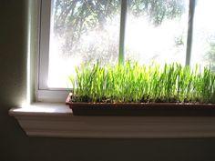Windowsill Wheatgrass