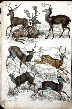 Vintage Printable at Swivelchair Media - Beta Science Illustration, Nature Illustration, Zoo 2, Illustration Botanique, Deer Art, Oh Deer, Nature Prints, Woodland Creatures, Fauna
